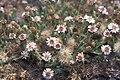 Starr-000502-1313-Tetramolopium humile subsp haleakalae-habit-HNP-Maui (24446394591).jpg