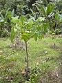 Starr-030807-0105-Aleurites moluccana-seedling-Keanae Arboretum-Maui (24343435880).jpg