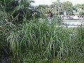 Starr-031108-0231-Cenchrus purpureus-habit-Sarasota-Florida (24046483774).jpg