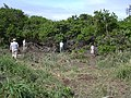 Starr-040121-0007-Schinus terebinthifolius-Americorps removing debris-Kanaha Beach-Maui (24670984166).jpg