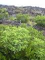 Starr-040331-0056-Senna gaudichaudii-habit-Kanaio-Maui (24404870070).jpg