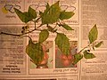 Starr-050427-0996-Solanum americanum-voucher 050419 42-Mokolii-Oahu (24127399074).jpg