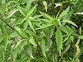 Starr-050816-3669-Dysphania ambrosioides-leaves-Waiale Gulch-Maui (24684119542).jpg