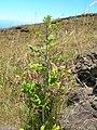 Starr-050817-3865-Rubus niveus-form a habit-Keahuaiwi Gulch-Maui (24174148954).jpg