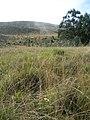 Starr-051123-5418-Eucalyptus globulus-habit-Haleakala Ranch-Maui (24482090599).jpg