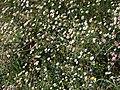 Starr-090513-7555-Erigeron karvinskianus-flowers-Polipoli-Maui (24659226880).jpg