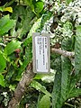Starr-091104-0713-Hibiscus kokio subsp saintjohnianus-plant tag and stem-Kahanu Gardens NTBG Kaeleku Hana-Maui (24987305315).jpg