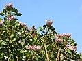 Starr-100601-6554-Protea cynaroides-flowers-Kula-Maui (25012854896).jpg