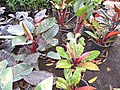 Starr-110215-1419-Philodendron sp-habit-KiHana Nursery Kihei-Maui (25049234806).jpg