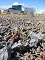 Starr-110524-5612-Arenaria serpyllifolia-habit-Science City-Maui (24799860500).jpg