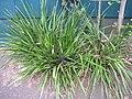 Starr-110629-6507-Dianella sandwicensis-fruiting habit-Ulupalakua-Maui (25097719175).jpg