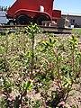 Starr-120329-3981-Senecio vulgaris-flowering habit-Near Stone building HNP-Maui (25138157925).jpg