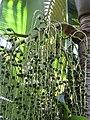 Starr-120522-5990-Archontophoenix purpurea-fruit-Iao Tropical Gardens of Maui-Maui (24516151203).jpg