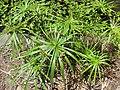 Starr-120522-6409-Cyperus involucratus-habit-Iao Tropical Gardens of Maui-Maui (24512990424).jpg