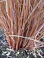 Starr-120613-9611-Carex buchananii-stems-Home Depot Nursery Kahului-Maui (25119122576).jpg