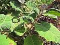 Starr-121108-0730-Solanum quitoense-habit-Pali o Waipio-Maui (24828355679).jpg