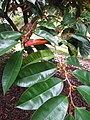Starr-121108-0827-Chrysophyllum cainito-leaves-Pali o Waipio-Maui (25196417145).jpg