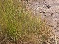Starr-130617-5085-Cyperus laevigatus-habit-Kealia Pond NWR-Maui (24585544153).jpg