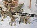 Starr-140621-0693-Unknown asteraceae-flowers and leaves-Kohala-Hawaii (25124955242).jpg