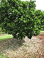 Starr-150301-0354-Citrus sinensis-Washington navel flowering habit-Hawea Pl Olinda-Maui (25146894482).jpg