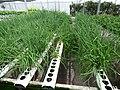Starr-150326-0863-Allium fistulosum-in Hydroponics greenhouse-Town Sand Island-Midway Atoll (24971438140).jpg