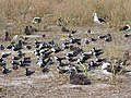 Starr-150403-0292-Brassica juncea-Sooty Terns and Laysan Albatrosses-Southeast Eastern Island-Midway Atoll (25276131875).jpg