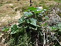 Starr-170614-0988-Cucurbita maxima-vining habit-Residences Sand Island-Midway Atoll (35547364813).jpg