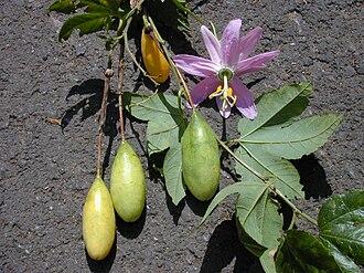 Passiflora tarminiana - Close-up of fruit