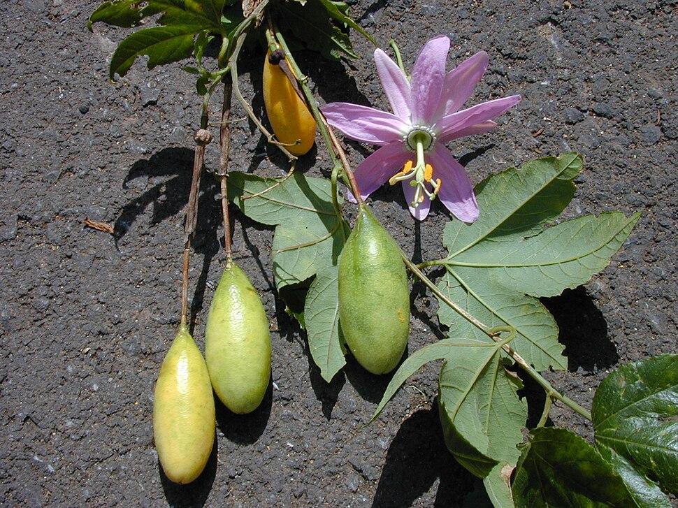 Starr 010423-0066 Passiflora tarminiana