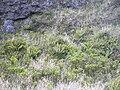 Starr 041006-0320 Dryopteris wallichiana.jpg