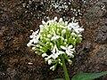 Starr 050815-3391 Centranthus ruber.jpg