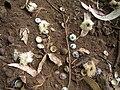 Starr 051123-5464 Eucalyptus globulus.jpg