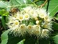 Starr 060703-8292 Eucalyptus deglupta.jpg