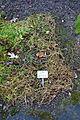 Stellaria aquatica (Myosoton aquaticum) - Botanischer Garten, Dresden, Germany - DSC08721.JPG