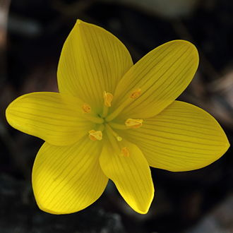 Sternbergia lutea - A Sternbergia lutea flower showing all its yellow parts: the six grey-striated tepals, the six yellow stamens, and the style with its stigma