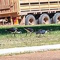 Straw-necked ibis Diamantina Developmental Road Boulia Queensland P1060888.jpg