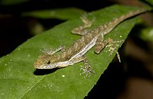 Stream Anole Norops poecilopus.jpg