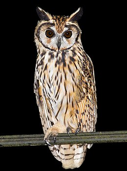 Striped Owl (cropped).jpg