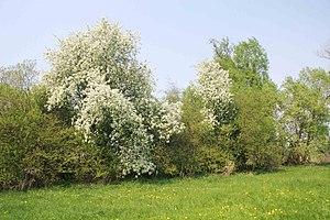 Prunus padus - A Bird Cherry tree in full bloom