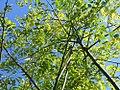 Styphnolobium japonicum 0zz.jpg