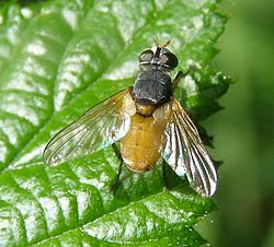 Subclytia-rotundiventris-Tachinid-fly-20090604a.jpg