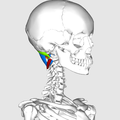 Suboccipital muscles04.png