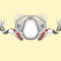 Subscapularis muscle top.png