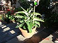 Succulente in its pot.jpg