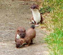 Suffolk-stoats.jpg