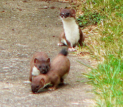 http://upload.wikimedia.org/wikipedia/commons/thumb/2/23/Suffolk-stoats.jpg/250px-Suffolk-stoats.jpg