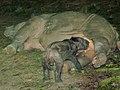 Sumatran rhinoceros nursing.jpg