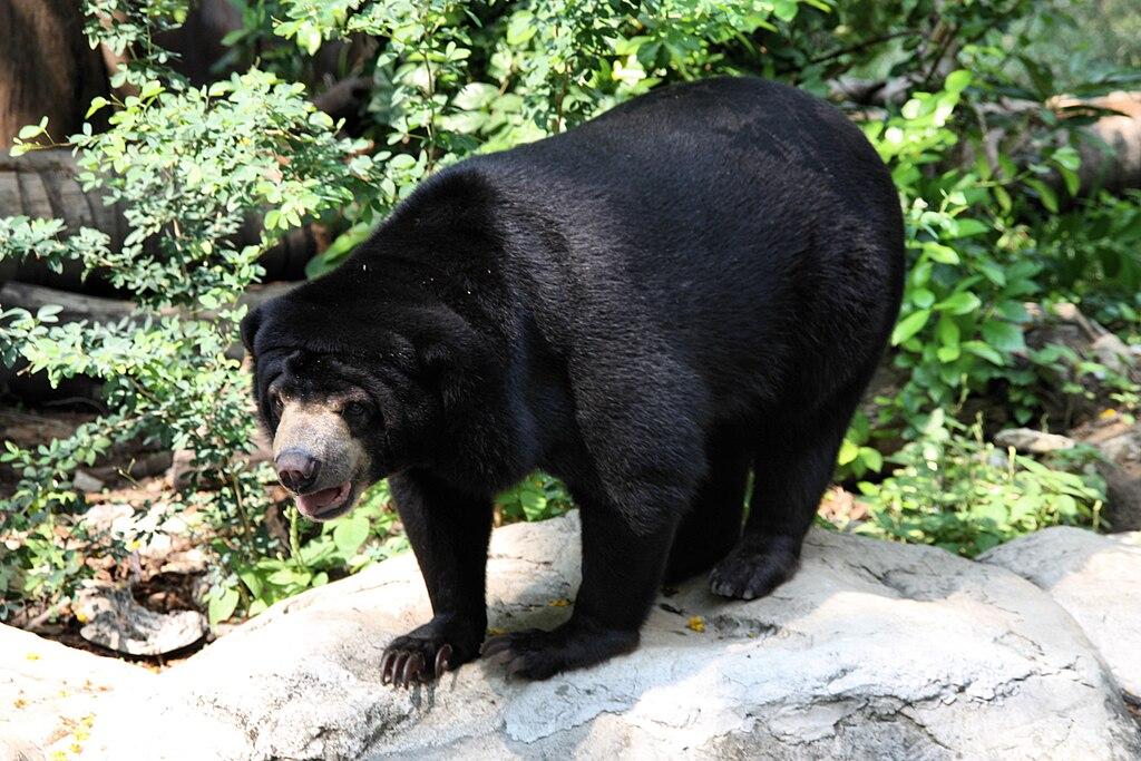 File Sun Bear Helarctos Malayanus In Dusit Zoo Bangkok