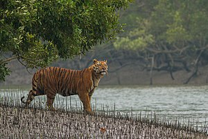 Sundarbans National Park - Image: Sundarban Tiger