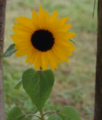 Sunflower as PNG 256colors picture.png